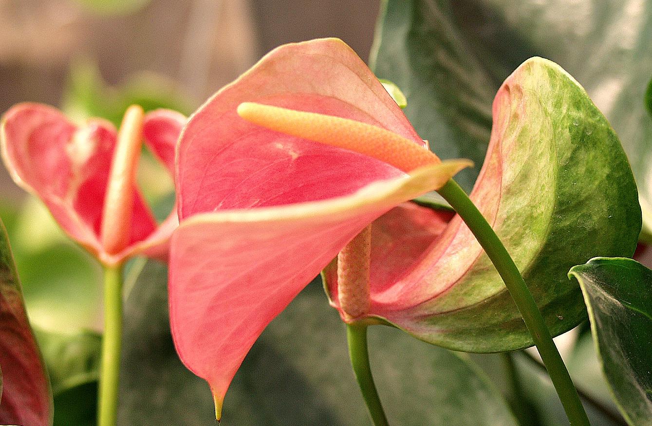 Anthurium Flower Facts - Flower PressFlower Press