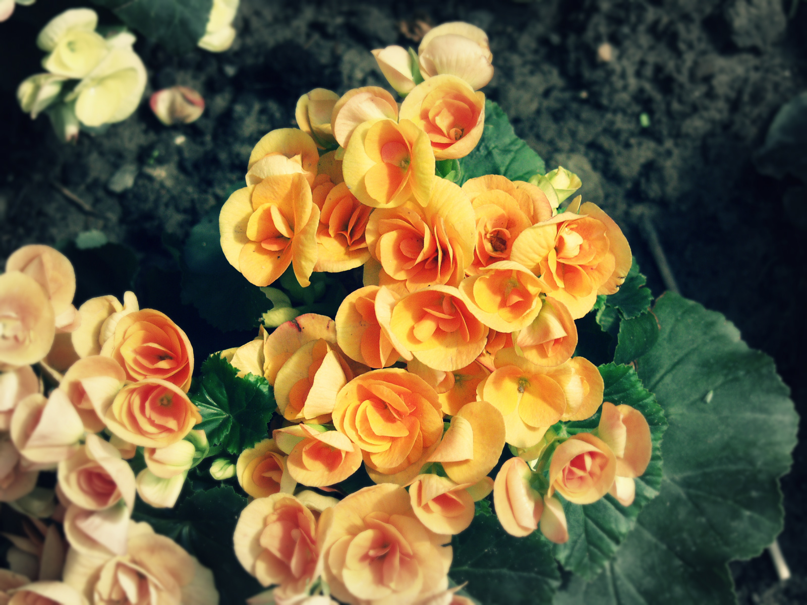 How to care for yellow roses-4331