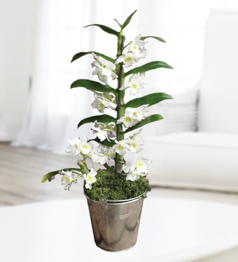 Exotic Dendrobium Orchid additionally Tropical Flower Arrangement Diy Makana Aloha Gift Heart Assortment furthermore Green Cymbidium Orchid together with Pottedorchidsandexotics Poe further Mesh info. on care instructions dendrobium orchids