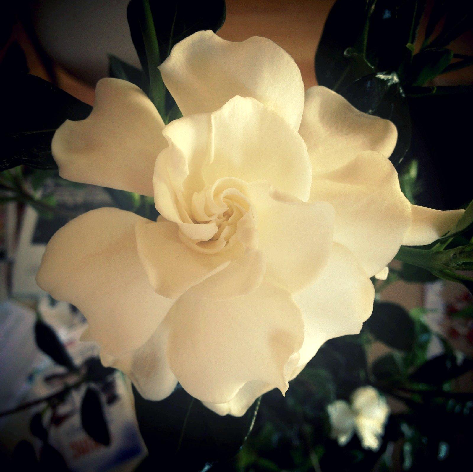 Gardenia flower facts flower pressflower press mightylinksfo