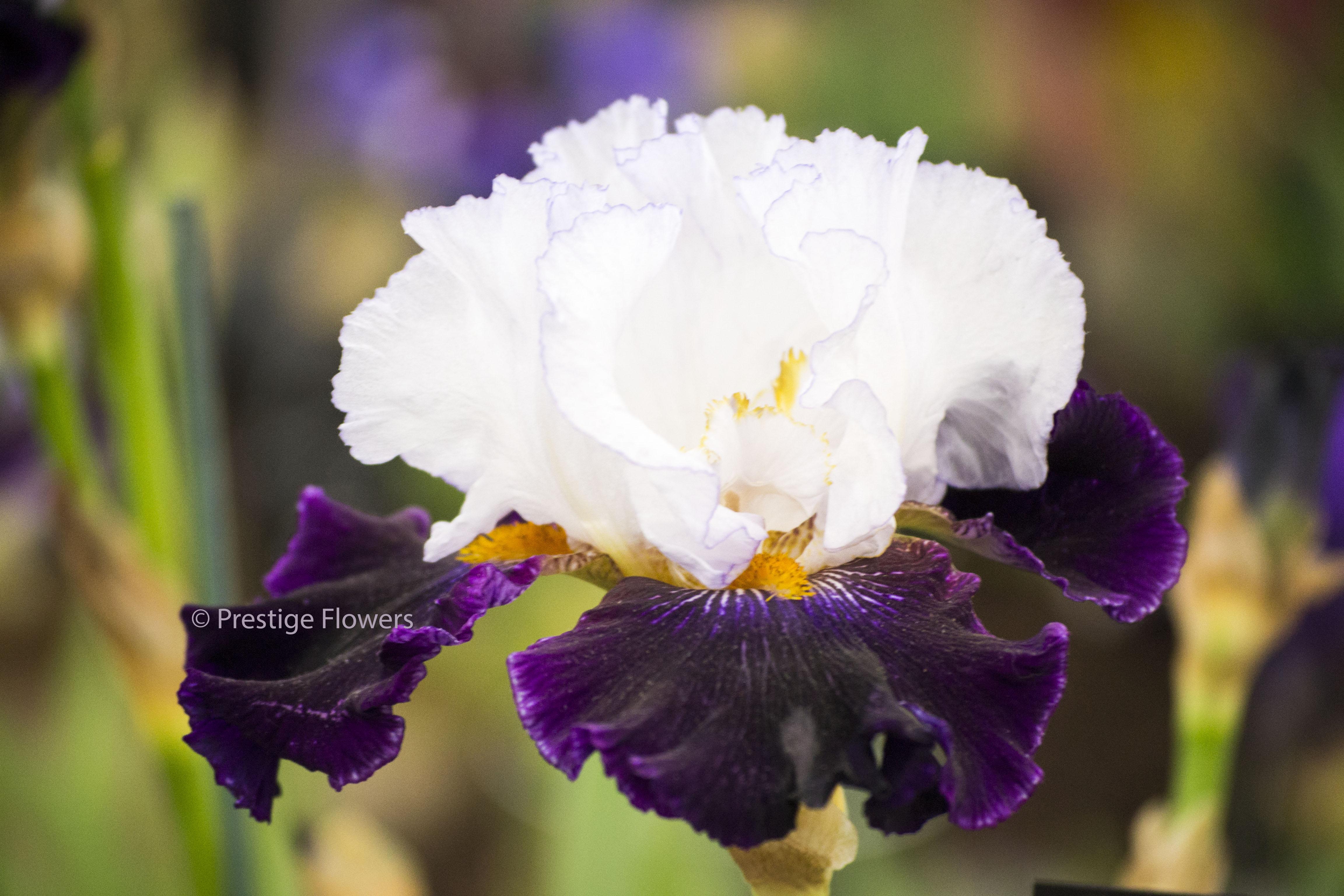 Care tips for your iris bouquet flower pressflower press izmirmasajfo