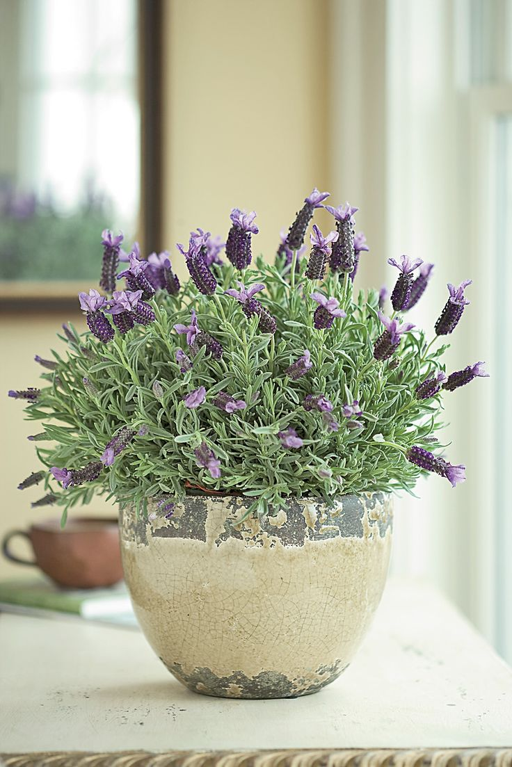 How to care for potted lavender flower pressflower press - Growing lavender pot ...