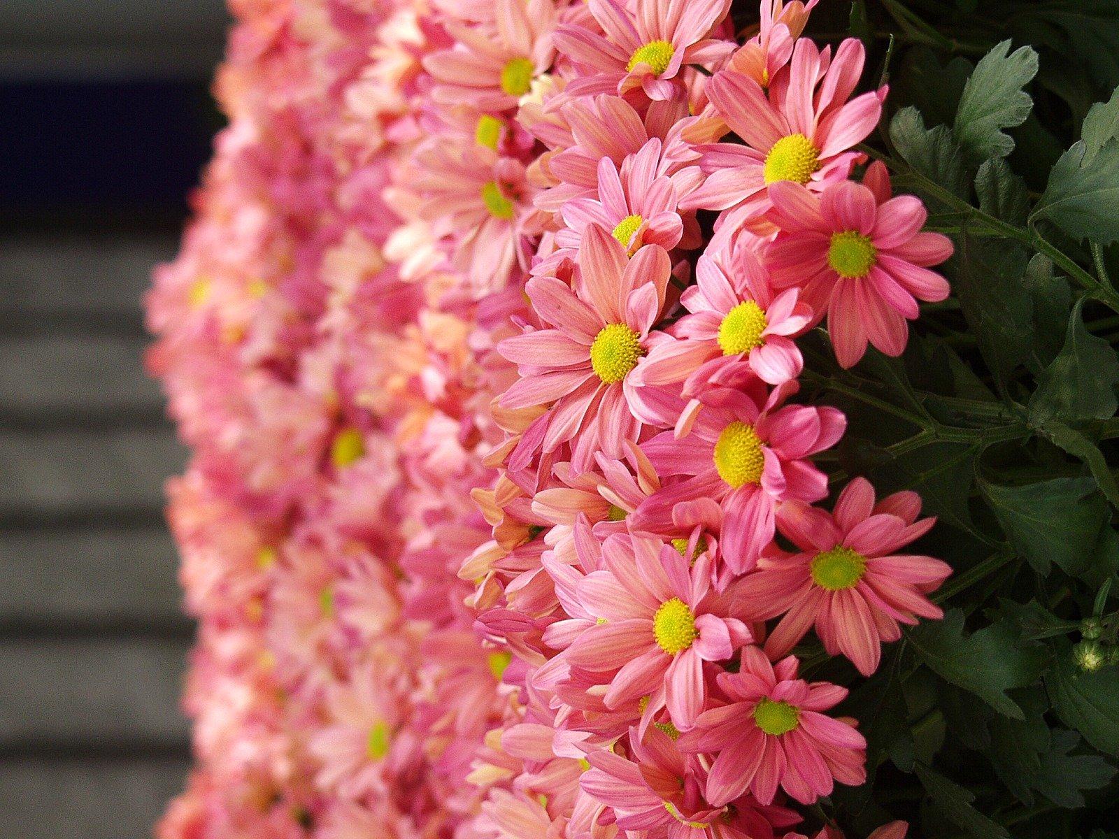 Interesting Chrysanthemum Flower Facts Flower Press