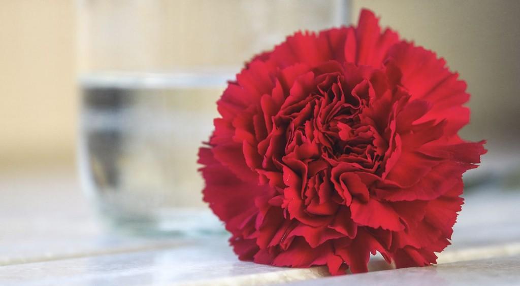 Valentine's Day Carnation