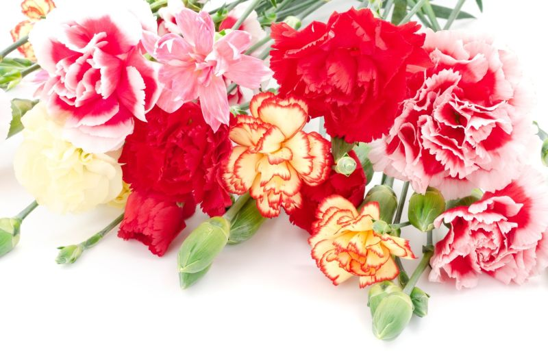 why are carnations suitable for mother's day?  flower pressflower, Beautiful flower