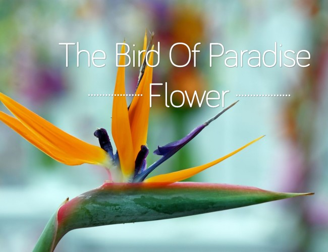 Bird Of Paradise Flower Facts