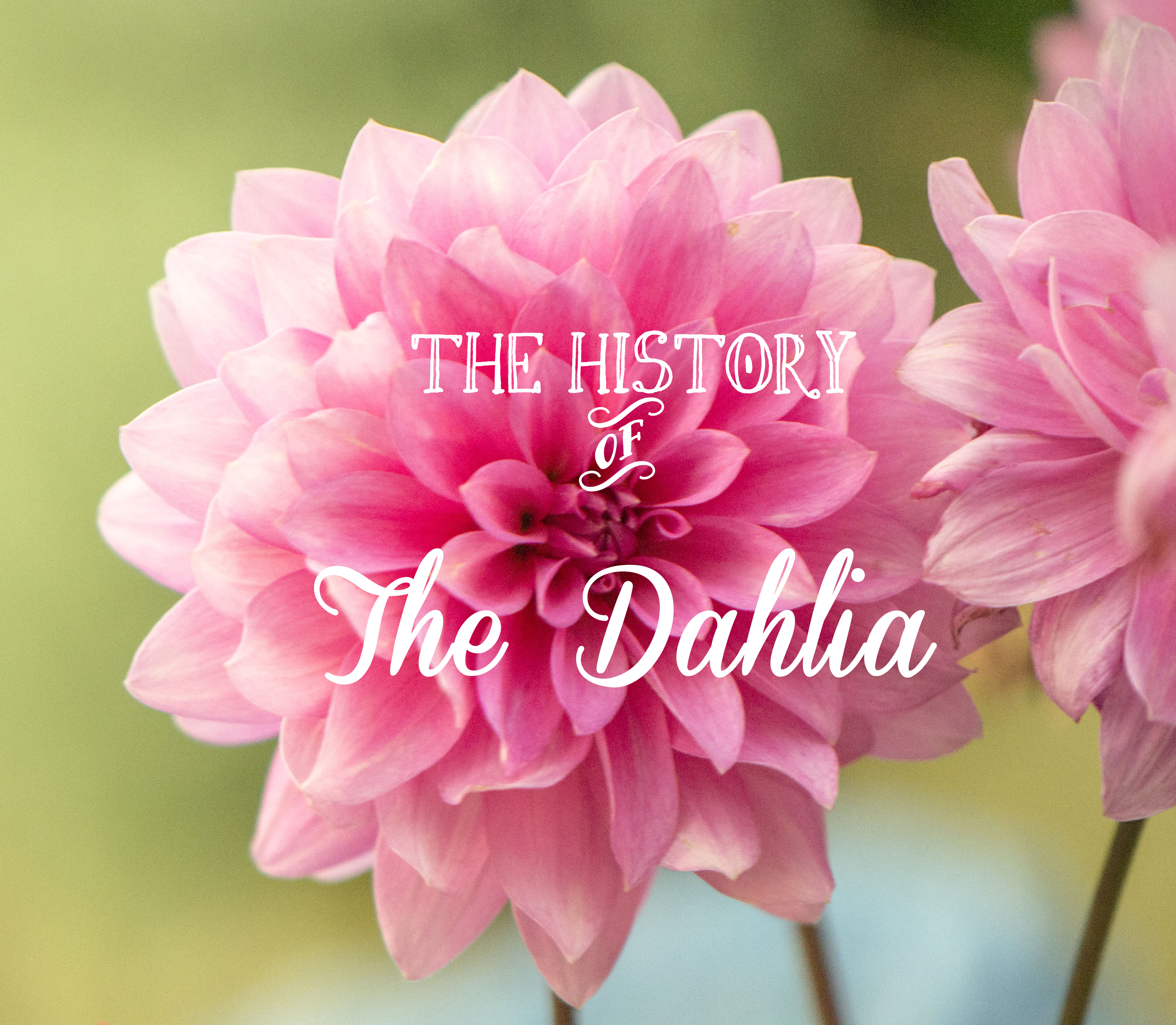 The History Of The Dahlia Flower Press