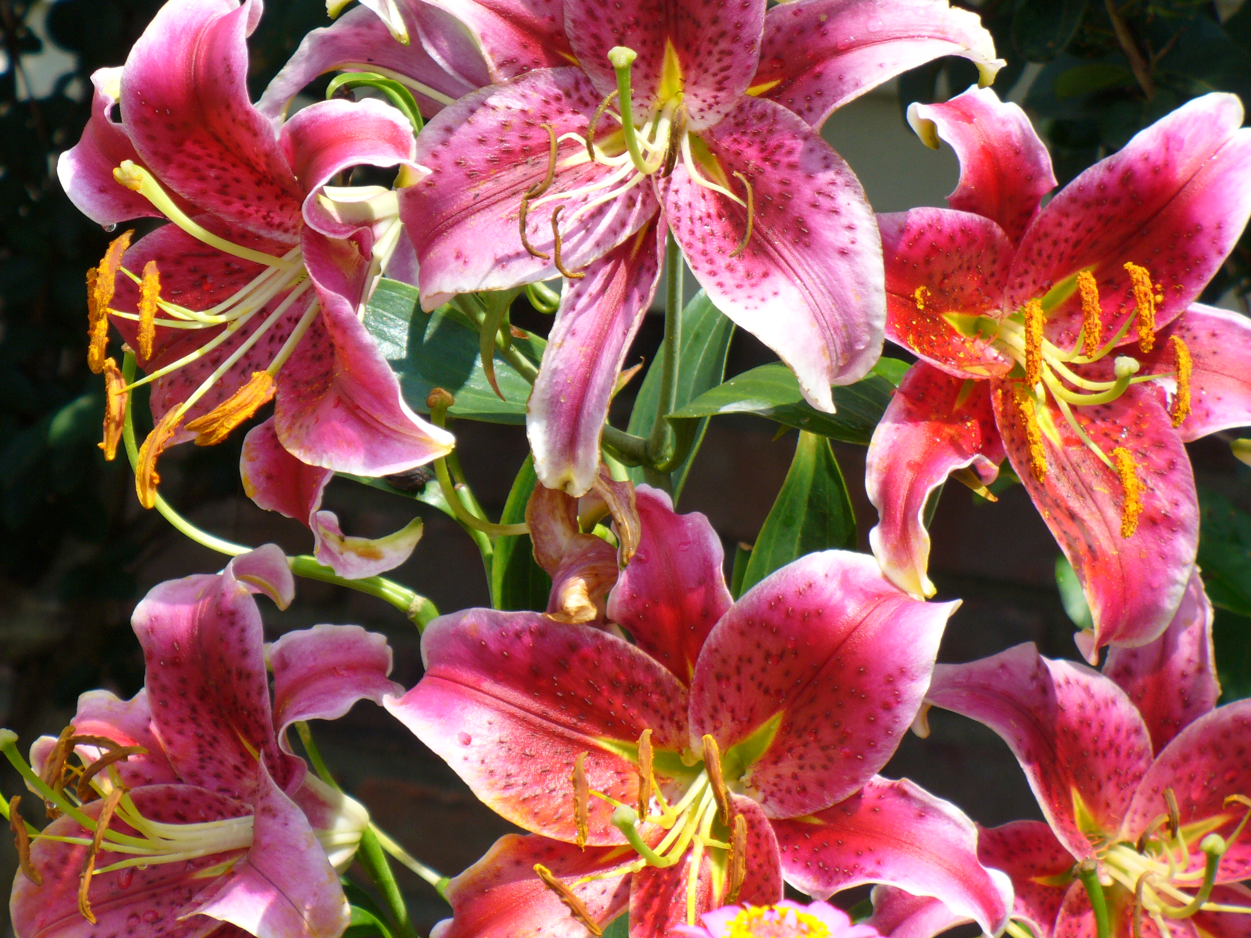 Interesting facts about stargazer lilies flower pressflower press stargazer lily flower facts izmirmasajfo