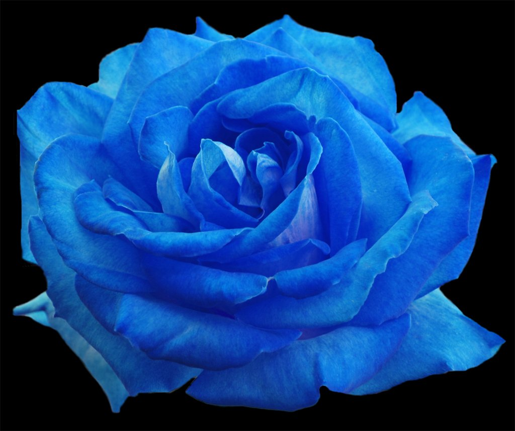 how to make your own blue rose flower pressflower press
