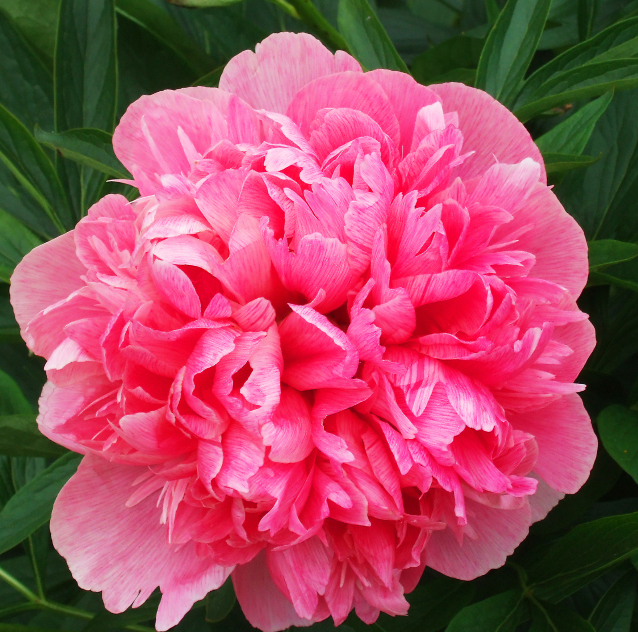 Fun Facts About Rhododendron Flowers Flower Pressflower Press
