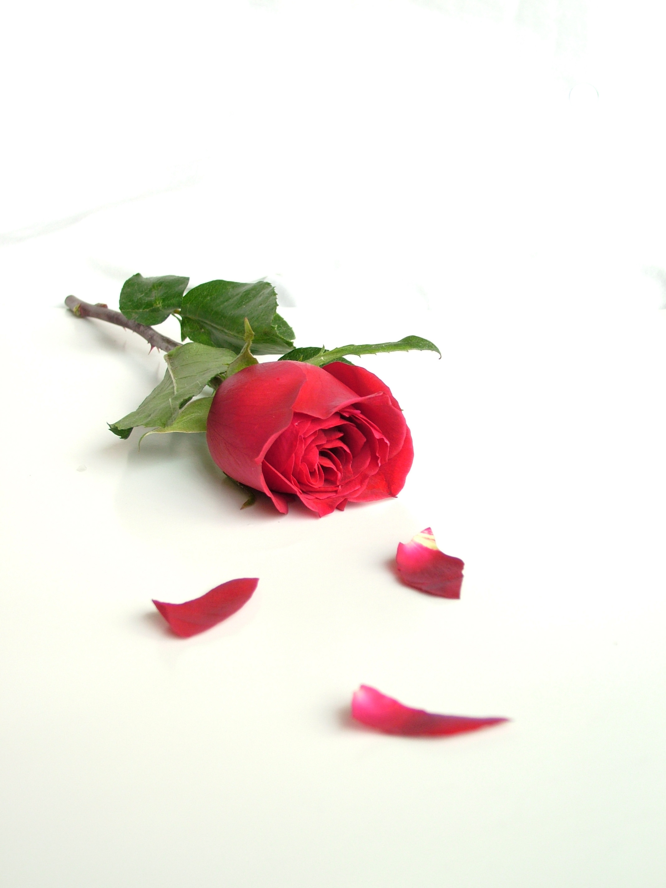 How to successfully press roses flower pressflower press how to press roses izmirmasajfo