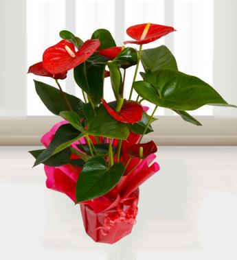 Anthurium Care Instructions Archives Flower Press