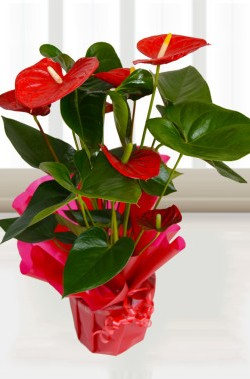 Send a plant for Valentine's Day