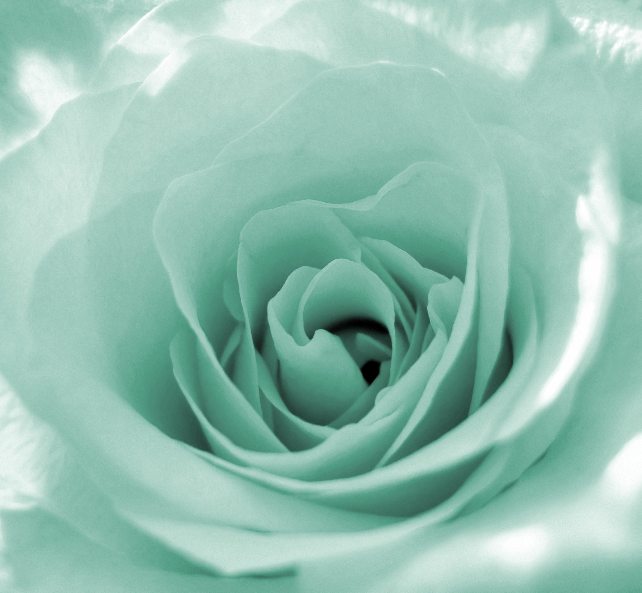 Fun with st patrick 39 s day flowers flower pressflower press for Green colour rose images