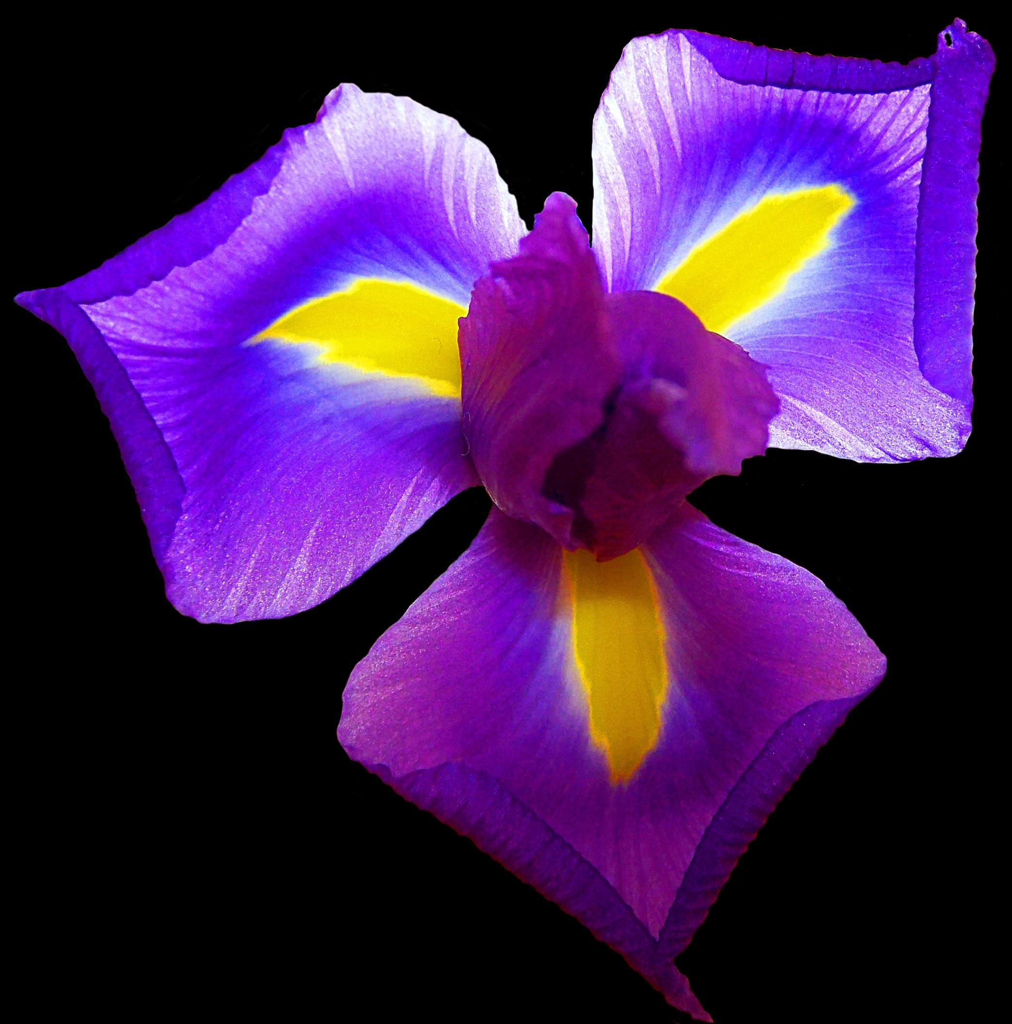 iris flower care archives flower press