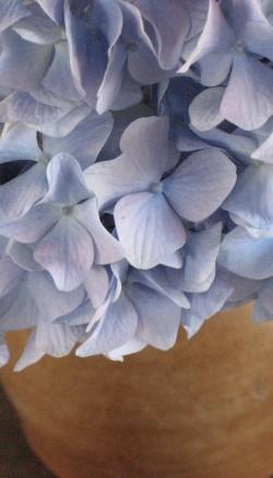 Hydrangea plant care
