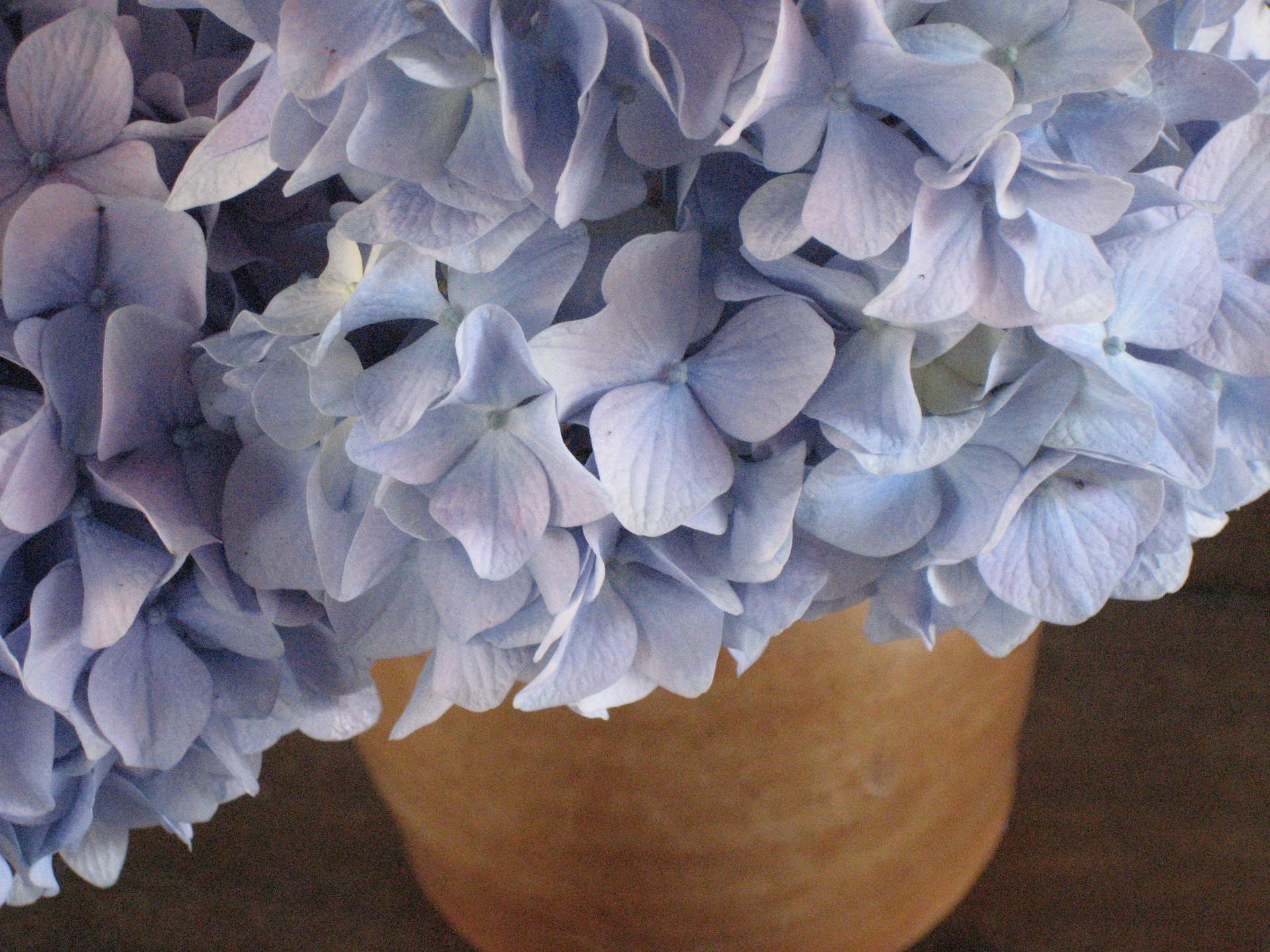 Care tips for potted hydrangeas flower pressflower press - Caring hydrangea garden ...