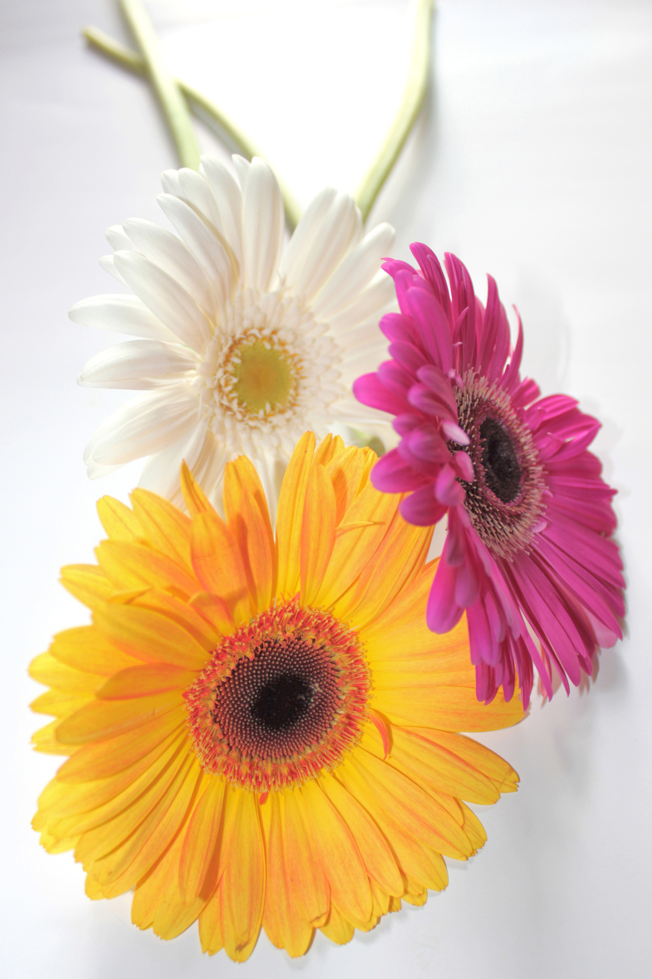 Interesting facts about gerbera daisies flower press gerbera daisy flower facts izmirmasajfo