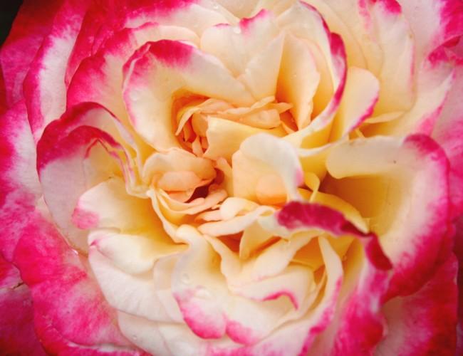 Interesting carnation flower uses