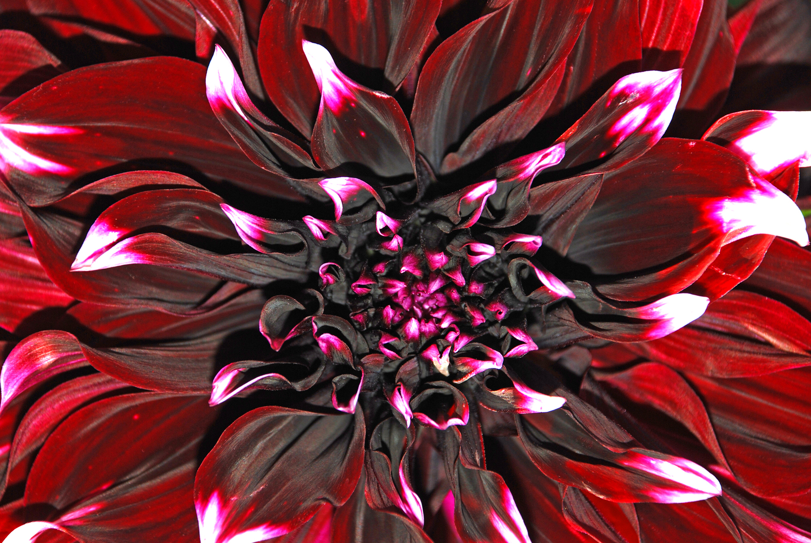 What you need to know about dahlias flower pressflower press dahlia flower facts izmirmasajfo