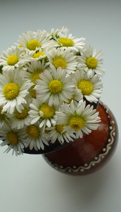 Daisy flower facts