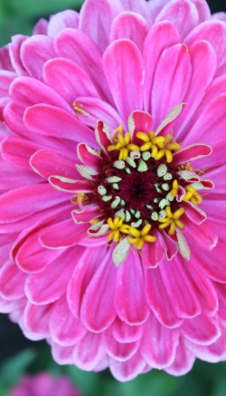 Zinnia flower care
