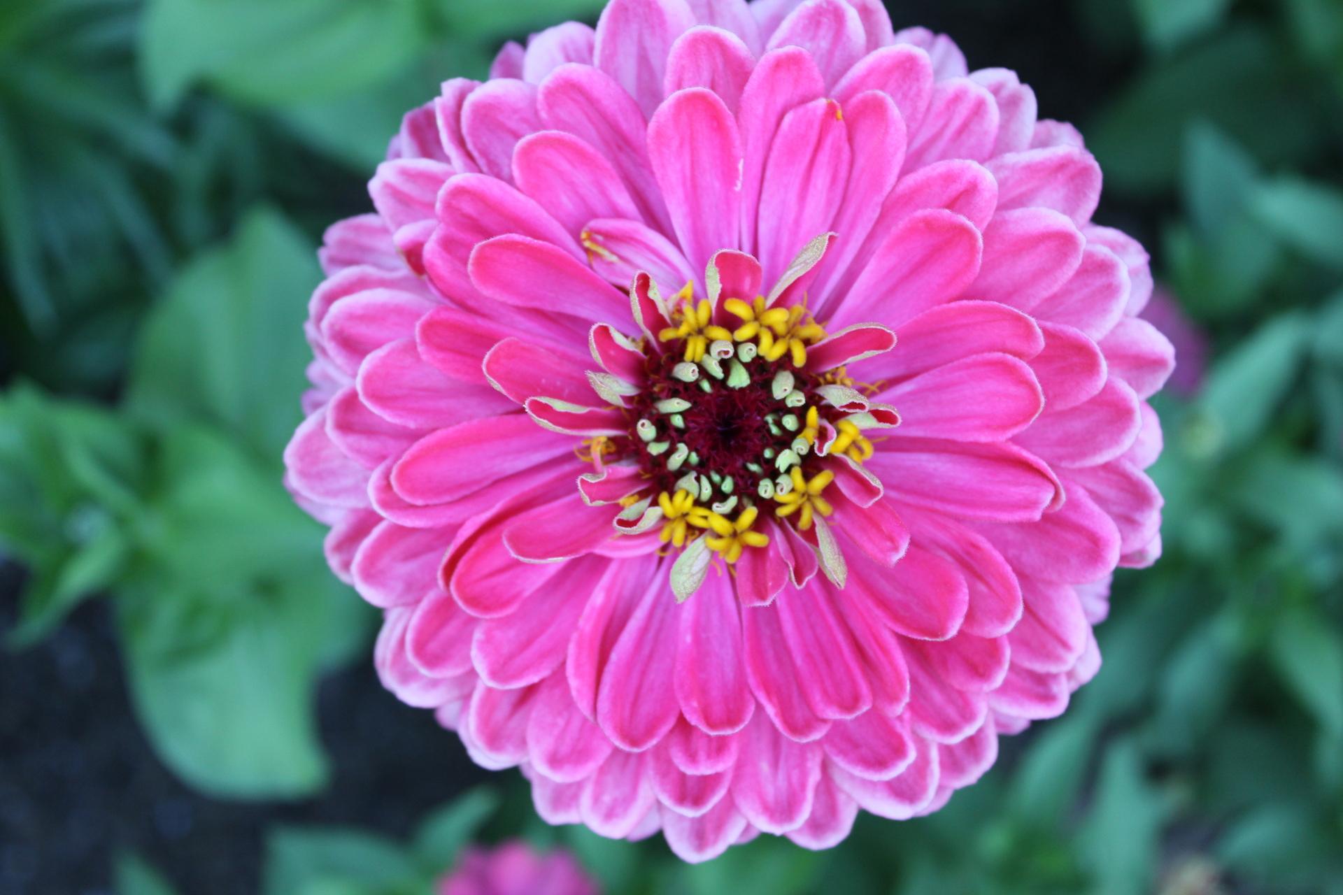 Zinnia Flower | www.pixshark.com - Images Galleries With A