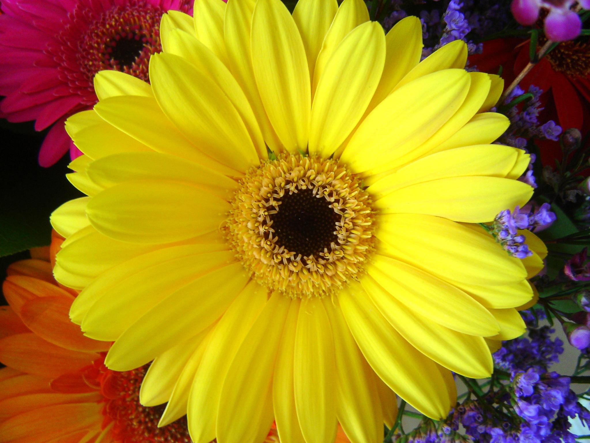 Годеция  виды сорта и способы выращивания цветка