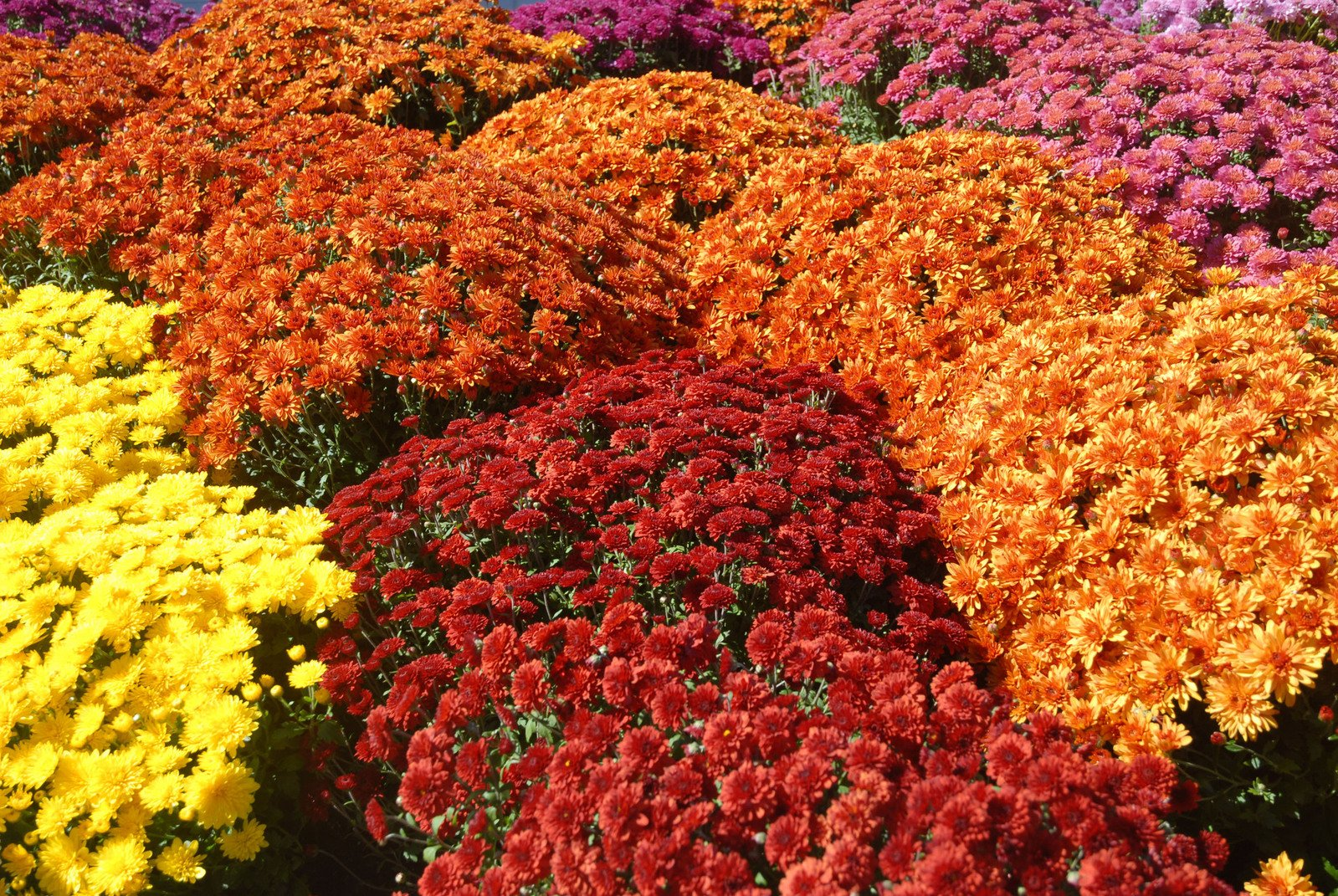 Autumn – the season for mums