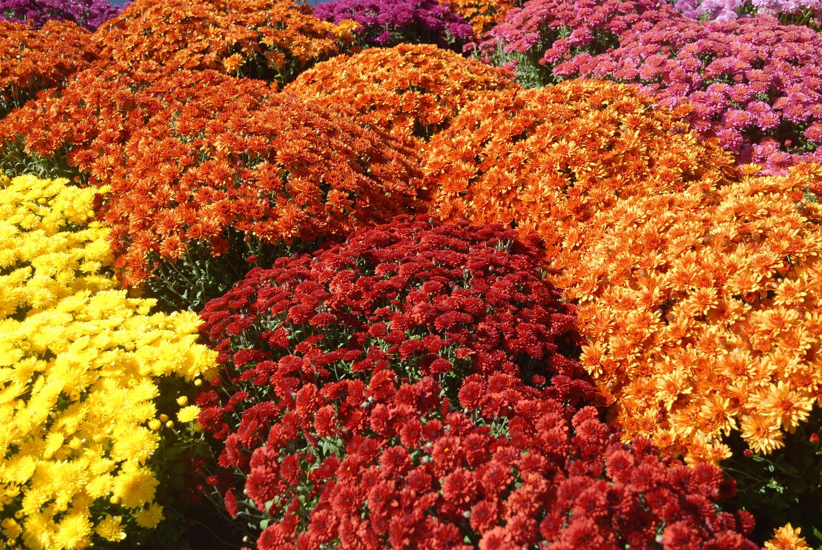 Autumn – the season for mums