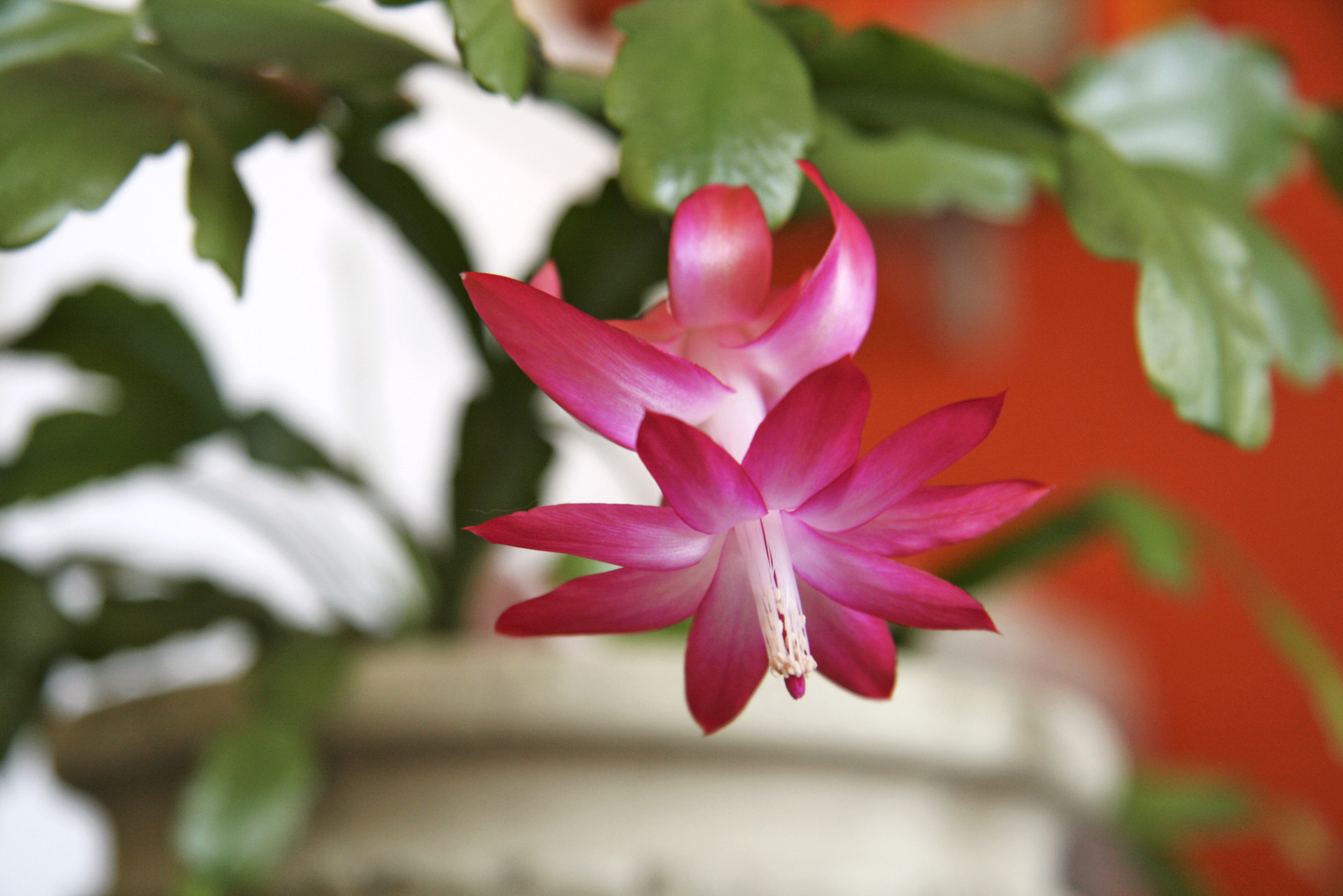 Christmas cactus care advice