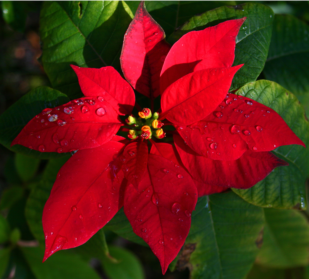All about pretty Poinsettias