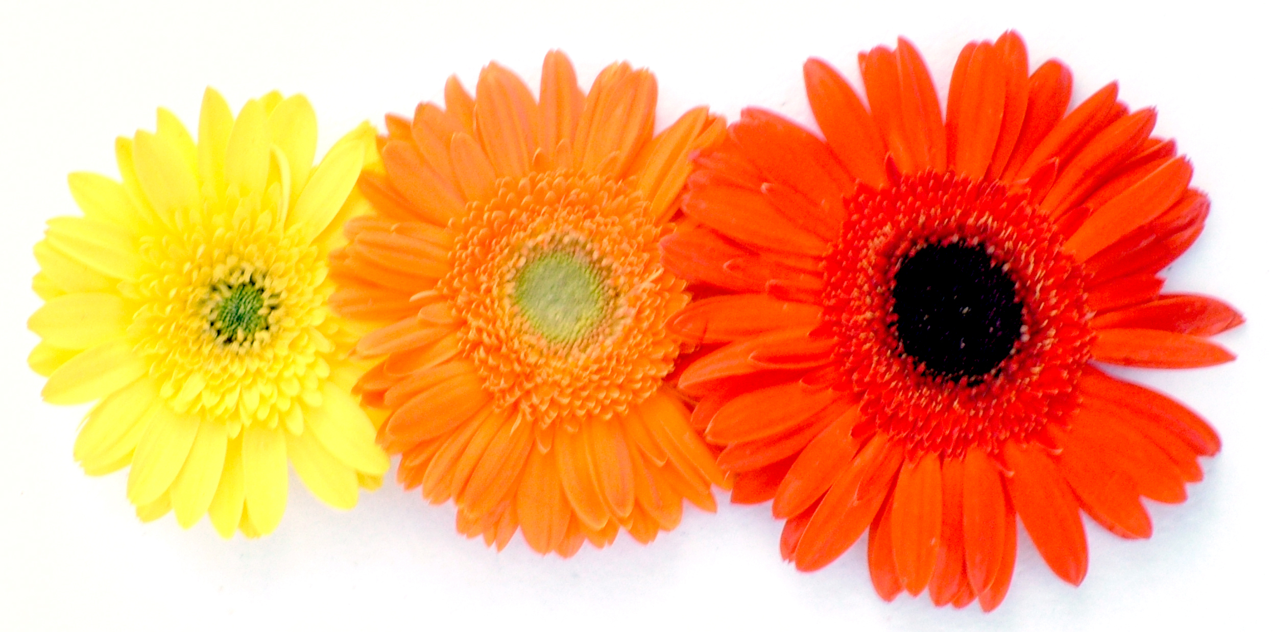 Types Of Gerbera Daisies Flower Press