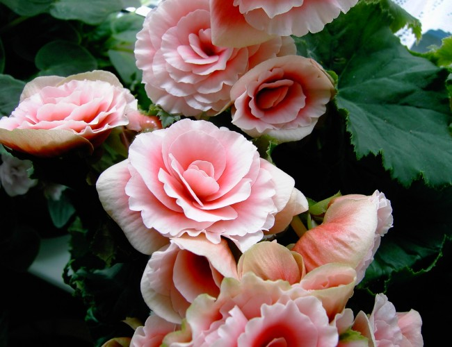 Begonia plant care