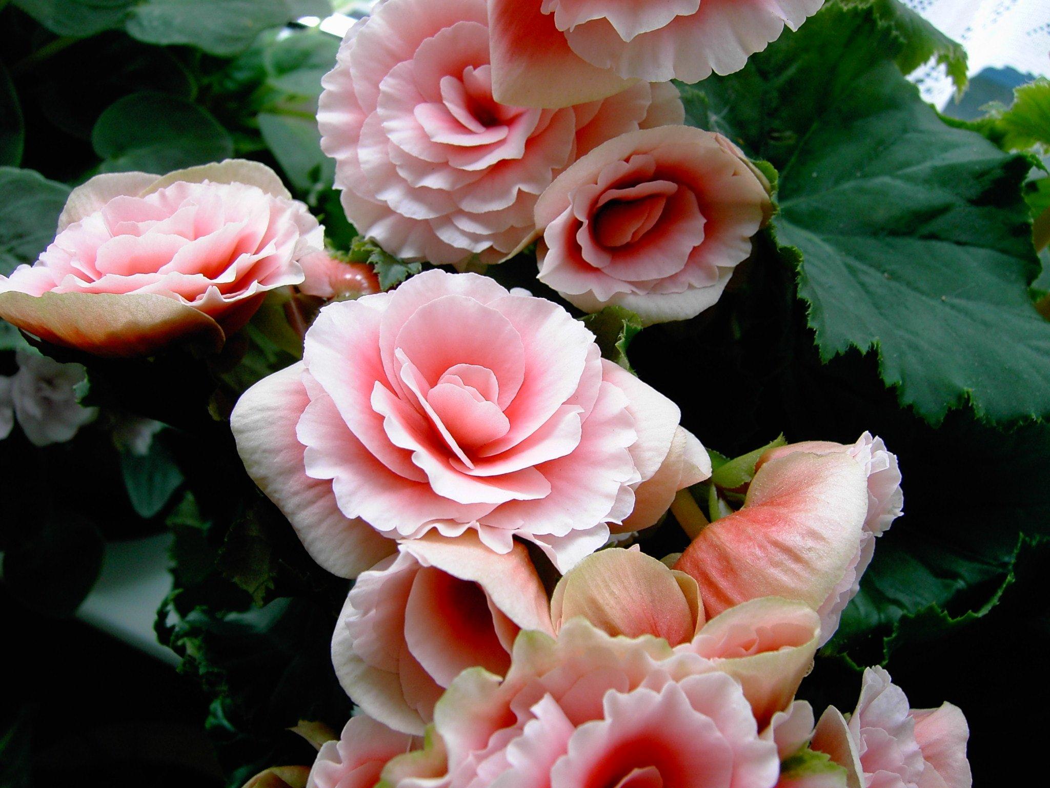 Begonia plant care