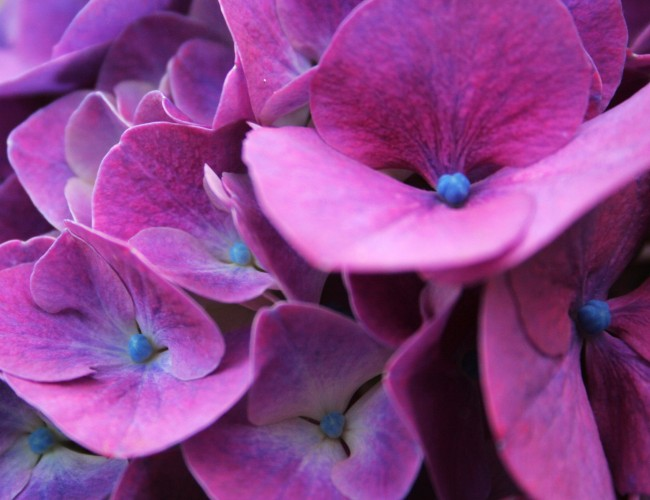 How to arrange hydrangeas