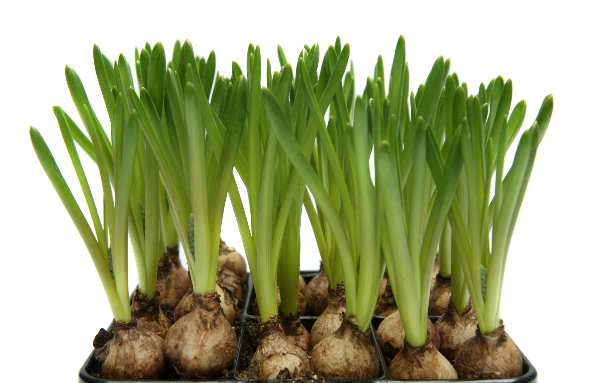 Growing flower bulbs in container gardens