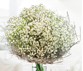 All about baby's breath