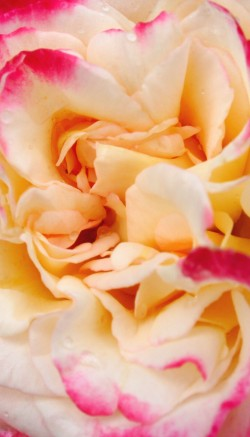 Carnation flower facts