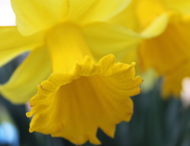 Potted daffodil care