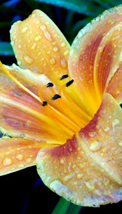 Uses for lilies