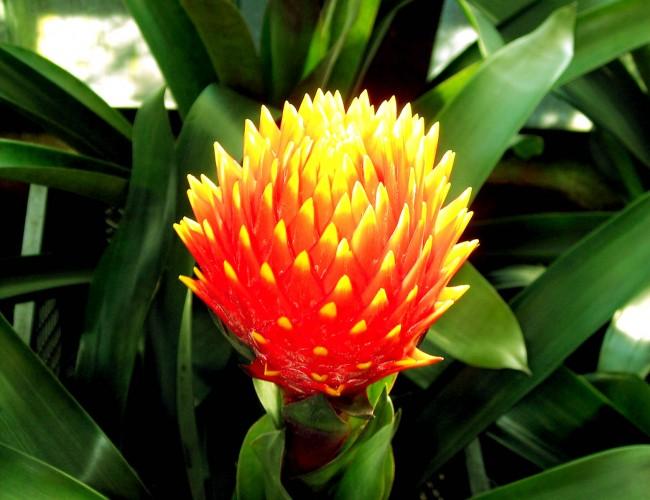 Bromelia plant care