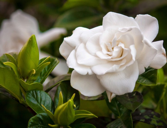 Gardenia flower facts