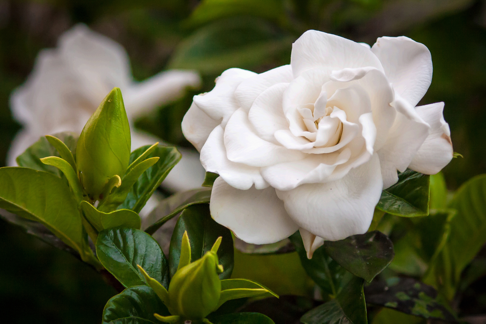 Facts about Gardenias