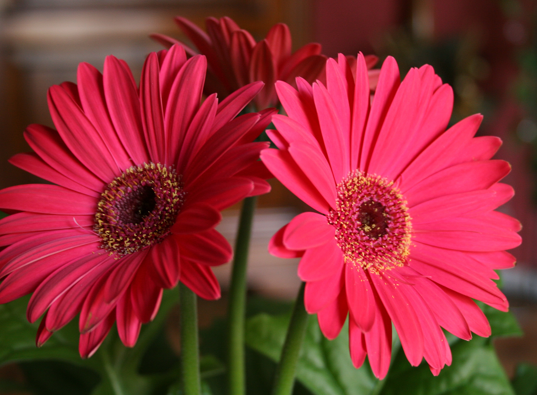 How To Make Cut Gerbera Daisies Last Longer Flower Pressflower Press