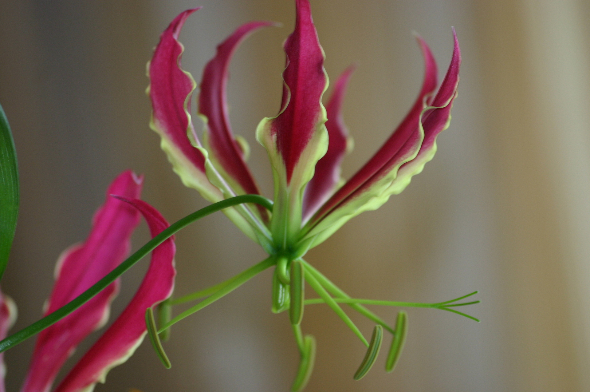 All about Gloriosa Lilies