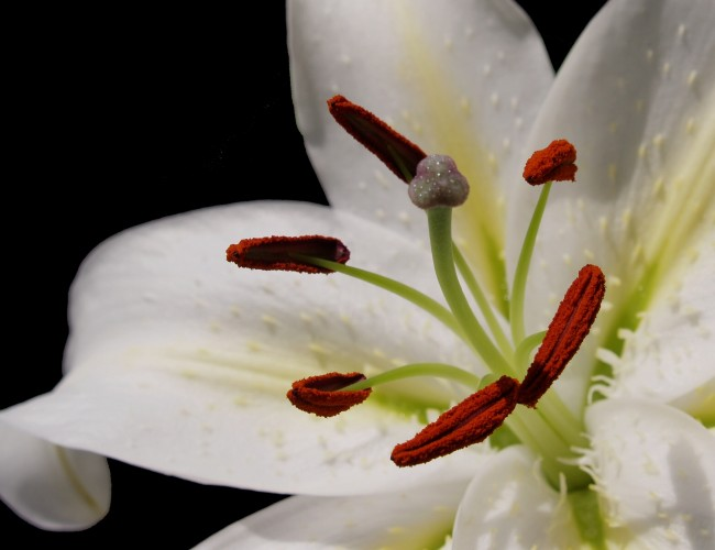 About Casa Blanca Lilies