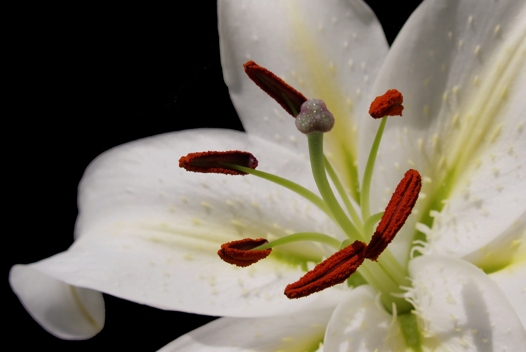 About The Beautiful Casa Blanca Lily Flower Press