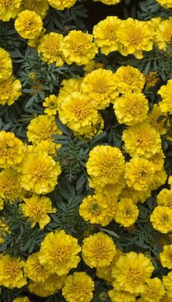 Marigold flower facts