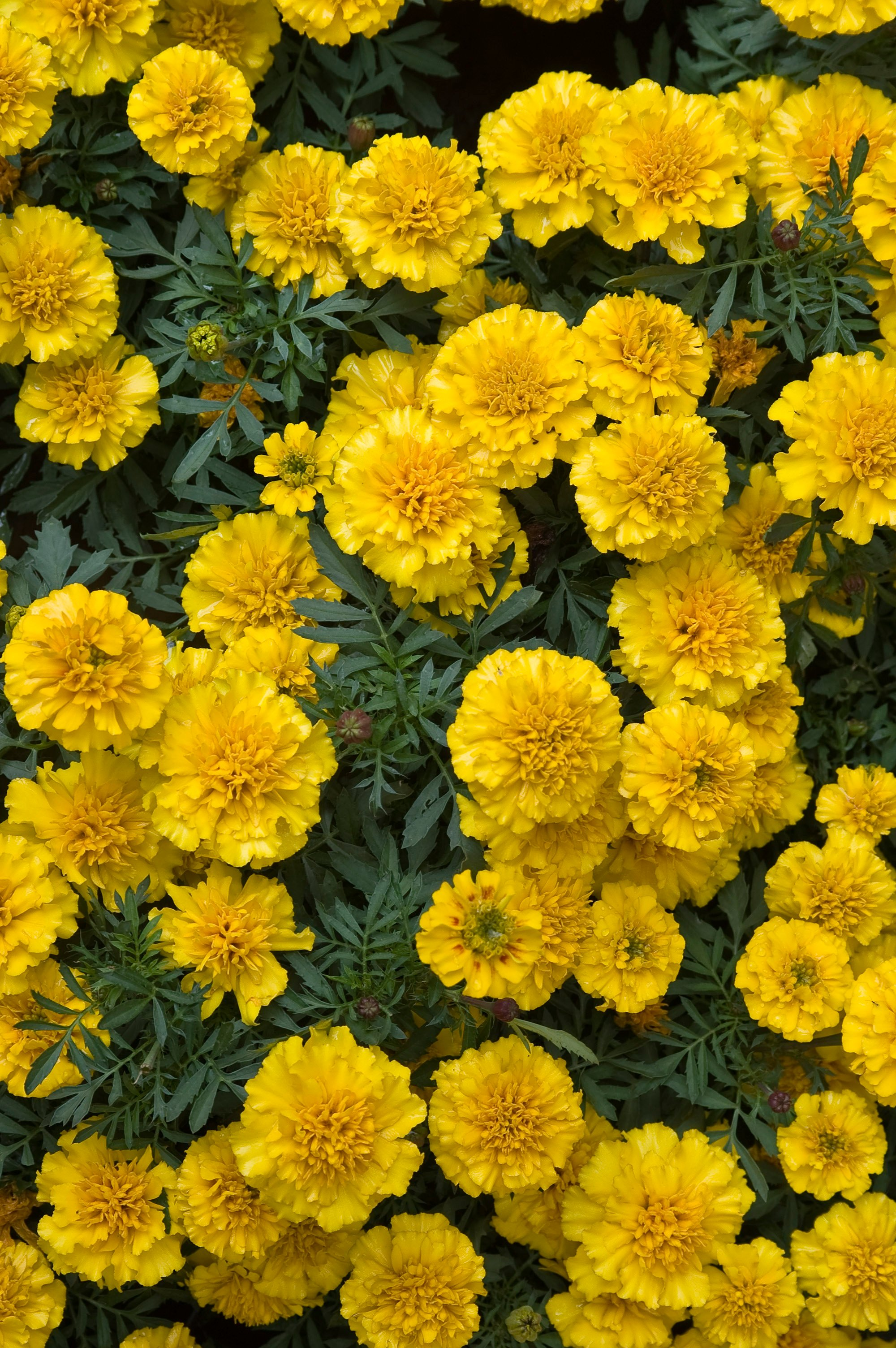 All about Marigolds